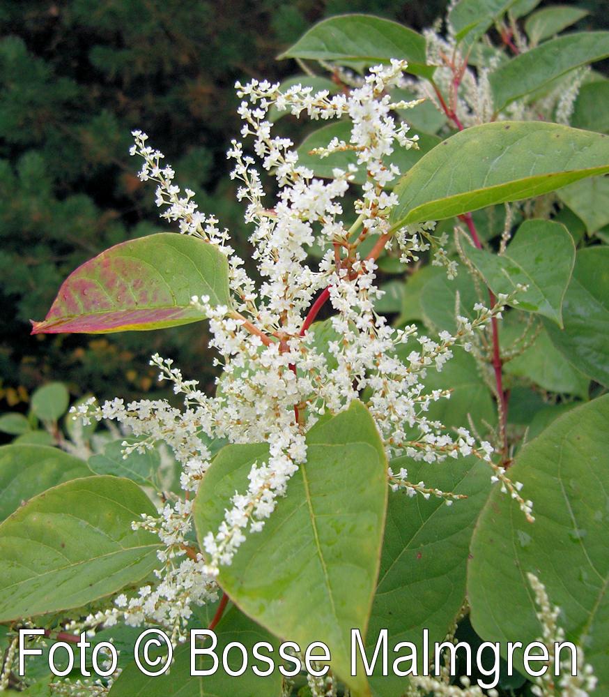 Japanese Knotweed Pictures >> En bildsida om Parkslide - Fallopia japonica (Houtt.) Ronse Decr.